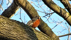 Robin (Crunch53) Tags: tree bird robin animal outdoors scenery michigan