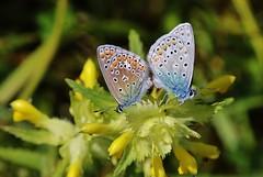 Blulinge (Hugo von Schreck) Tags: macro butterfly makro schmetterling fantasticnature blulinge pseudophilotesbaton tamron28300mmf3563divcpzda010 canoneos5dsr hugovonschreck graublauebluling