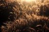Spighe baciate dal sole (Valentina Conte) Tags: light sunset summer sun nature beauty field yellow corn estate alba wheat harvest ears campo giugno hdr controluce oro grano spighe cereali raccolto canon100d rebelsl1 valentinaconte