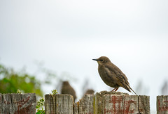 Starling Juvenile .... I think (I'm rubbish with birds) (meccabolix) Tags: g sony starling fe 70300mm juvenile oss f4556 a7rii sel70300g