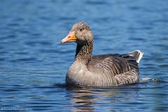 Oie cendre (DorianHunt) Tags: birds switzerland bokeh sigma swamps greylaggoose champittet 150600mm nikond7200