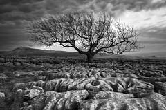 Scarred Landscape II (Tracey Whitefoot) Tags: white black tree monochrome mono pavement yorkshire north end limestone tracey scar dales pavements ingleton 2016 whitefoot twistleton