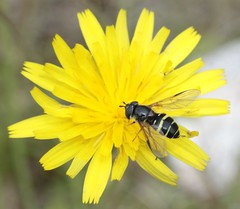 Dasysyrphus tricinctus female syrphidae (BSCG (Badenoch and Strathspey Conservation Group)) Tags: acm