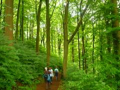 Hallen-Buchenwald (Jrg Paul Kaspari) Tags: forest buchenwald eifel wald daun fagus wanderung 2016 vulkaneifel gemndenermaar frhsommer hallenbuchenwald diemaarseetour