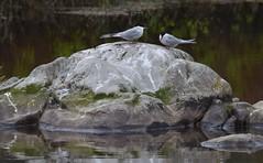 Return of the Beautiful (Insearchoflight) Tags: birds stjohns arcticterns migratorybirds pondbirds newfoundlandandlabrador insearchoflight waynenorman worldwearytravellers