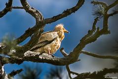 """Alimoche y Posadero"" 7 (fotojuanma2000) Tags: alimoche egyptian vulture raptor fauna wild life serrana cuenca espaa spain"