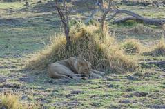 Lwe / Lion (brainstorm1984) Tags: northwest wildlife lion safari botswana lwe moremigamereserve pantheraleo okavangodelta xakanaxa botsuana campmoremi moremiwildreservat desertdeltasafaris elangeniafricanadventures