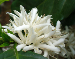Flores de caf para ti! (ltimothy on/off) Tags: coffee caf costarica quintaflower