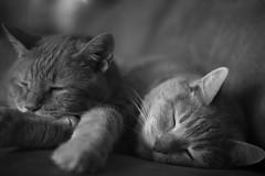 the boys (Catfishy2u) Tags: pet cats pets animal animals cat feline kitty kitties felines