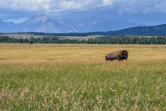 Lone Bison (East Western) Tags: park usa mountains rocky grand national wyoming teton bison prarie