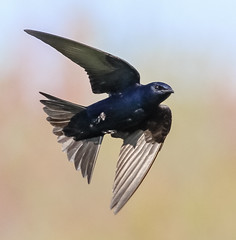 Male Purple Martin (tresed47) Tags: 2016 201604apr 20160418bombayhookbirds birds bombayhook canon7d content delaware folder martin peterscamera petersphotos places takenby us