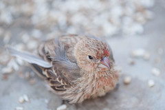 Battle Wounded Finch. (LisaDiazPhotos) Tags: house bird hurt backyard wounded feeder battle finch finches birdwatching birdwatch lisadiazphotos