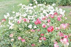 11864940_10153099674907076_3057504476708005589_o (jmac33208) Tags: park new york roses rose garden central schenectady