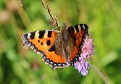 Fuchs (Hugo von Schreck) Tags: macro butterfly insect outdoor makro insekt fuchs schmetterling tamron28300mmf3563divcpzda010 canoneos5dsr hugovonschreck