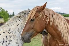 Loving encounter...._. (Ciminus) Tags: horse nature nikon wildlife cavalli naturesubjects nikond810 afsnikkor70200f28edvrii ciminodelbufalo