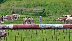 Schrankenwrter der neuen Art (mama knipst!) Tags: kuh cow eifel vache wanderweg schranke rurtal zerkall