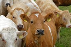 Herdentrieb - 2016 - 0019_Web (berni.radke) Tags: cows bovine khe rinder herde herdinstinct herdentrieb