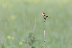 Taking a break... (Glenn van Windt) Tags: bird nature natuur aves vogel saxicolatorquata lijster stonechat trush roodborsttapuit canonef300mmf28lisusm