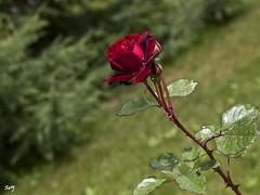 Despus de la lluvia... (svet.llum) Tags: parque naturaleza flores planta flor rosa paisaje gotas verano rusia mosc