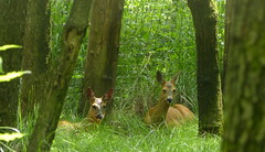 Far away and well hidden were they observing us (joeke pieters) Tags: 1270726 panasonicdmcfz150 biotopwildpark anholterschweiz ree roedeer reh chevreuil wildlifepark anholt duitsland deutschland germany hff