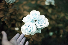 film (La fille renne) Tags: plant flower film nature rose analog 35mm lomography hand bokeh turquoise canonae1program 50mmf18 lomochrome lafillerenne lomochrometurquoise lomochrometurquoisexr100400
