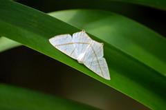 Moth <3 (NatiLady) Tags: trip travel naturaleza verde green folhas nature riodejaneiro leaf nikon natural bokeh moth folha mariposa maromba 2016 nikond3200