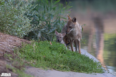family life at sunset - golden jackals, wilder Goldschakal, Canis aureus syriacus @ Tel Aviv, Israel 2016, June, urban nature (Jan Rillich) Tags: life park family sunset urban sun nature beautiful beauty animal fauna digital photography eos golden living israel photo telaviv flora foto fotografie sonnenuntergang jackal image jan wildlife familie young picture free sunny pack pup guest wilder offspring tier pflege yarkon ramatgan aureus welpe 2016 canis animalphotography syriacus goldenjackal asiaticjackal commonjackal reedwolf goldschakal 5dmarkiii janrillich rillich canisaureussyriacus