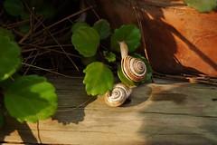 CARGOLS - (imaginemix) Tags: jardin garden cargols photodgv caracoles
