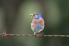 Western Bluebird (Sialia mexicana) DDZ_5219 (NDomer73) Tags: bird best bluebird better thrush champoeg westernbluebird champoegstatepark champoegstateheritagearea july2016 03july2016