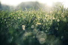 - b u b b l e s - (Cem Bayir) Tags: leica morning light sunlight color green nature grass sunrise landscape 50mm drops dof bokeh pov f14 earlymorning bubbles capture waterdrops summilux asph naturelover earlybird m240 leicam bokehlicious filmsimulation vsco bokehful leicam240 vscomood shootmood