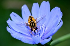 DSC_0496 (Me now0) Tags: park europe hoverfly cichoriumintybus 1855mmf3556 commonchicory  basiclens nikond5300    5300 naturebynikon