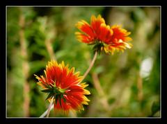 Kokarde (karin_b1966) Tags: plant flower nature garden blossom natur pflanze blume blte garten 2016 kokarde yourbestoftoday