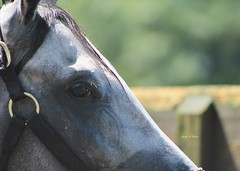Mizzentown (susanmbarlow) Tags: photograph delaware delawarepark equus horse equusferuscaballus thoroughbred backside equidae racehorse equine mizzentown bath bathtime