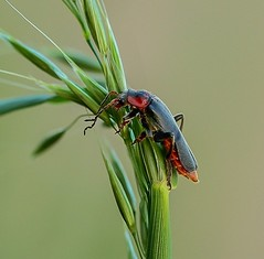 Zwartpoot soldaatje - Slodier beetle - Cantharus fusca (By Yves) Tags: coleoptera cantharis macro carnivorous linnaeus linn 1758