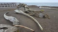 Skull bones of a Bowhead whale