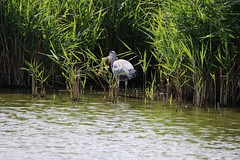 Heron with huge fish (aaron19882010) Tags: heron eating carp fish hunter too big dinner water bird outdoors reeds outside nature wildlife green blue grey canon 750d 600mm sigma