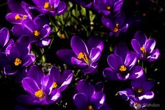 Lieber Krokus als Cro-Kuss (Kay Wahdan) Tags: plants flower nature spring blossom natur pflanzen blumen crocus blte ruhrgebiet nordrheinwestfalen krokus frhling blten castroprauxel ruhrvalley ickern