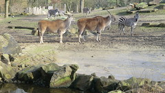 Muenster: Eland Antilopes, Allwetterzoo Muenster (Traveller-Reini) Tags: animals germany deutschland zoo tiere tierpark antilope mnster