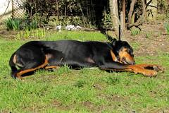 Frakk örül a tavasznak / enjoying the spring (debreczeniemoke) Tags: dog garden spring kutya tavasz kert frakk transylvanianhound erdélyikopó canonpowershotsx20is transylvanianbloodhound