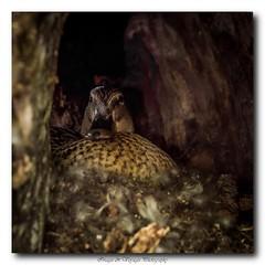 pb_2485 (Fernand EECKHOUT) Tags: leica nature photoshop lumix photography photos forum ngc olympus adobe oiseaux omd 25mm lightroom canards sauvage eaux em5 lr5 olympusfrance imagesvoyages poulbeau19