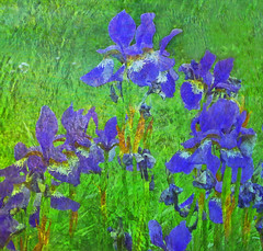 Vincent's Irises (virtually_supine) Tags: flowers iris photomanipulation textures restore layers vangogh digitalmanipulation pse9 photoshopelements9 restorefleetmeadow tmiinthestyleoflichtensteinpollockorvangoghchallenge effectsdrybrushglassblocksliquifywave