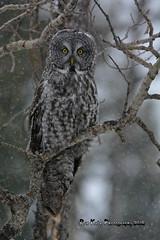 Great Gray Owl DSC_0328 (Ron Kube Photography) Tags: canada bird nature birds fauna nikon alberta owl greatgrayowl ornithology owls greatgray strixnebulosa southernalberta d7100 globalbirdtrekkers ronaldok nikond7100 ronkubephotography