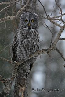 Great Gray Owl DSC_0328