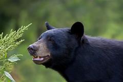 Black Bear (ashockenberry) Tags: bear black