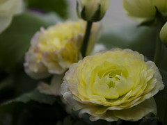 Yellow ranunculus (tlscott924) Tags: flower yellow spring ranunculus bud phipps