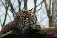 _DSC4307 (AC Photography 828) Tags: animals photography zoo nikon wildlife tiger chester d200 bigcats chesterzoo acphotography tigerlayingdown