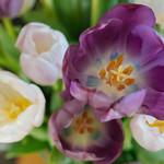 Tulips aus Jena thumbnail
