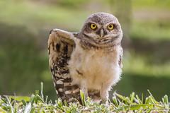 Young Burrowing Owl (Thelma Gatuzzo (off the air)) Tags: bird animals ngc raptor owl coruja animais athenecunicularia burrowingowl buho littleowl corujaburaqueira vizcachera steenuil chevchedathna chevchedesterriers kaninchenkauz lechucitadecampo animailia thelmagatuzzophotography
