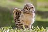 Young Burrowing Owl (Thelma Gatuzzo) Tags: bird animals ngc raptor owl coruja animais athenecunicularia burrowingowl buho littleowl corujaburaqueira vizcachera steenuil chevêchedathéna chevêchedesterriers kaninchenkauz lechucitadecampo animailia thelmagatuzzophotography©