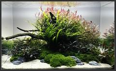 ready (Andy_Online) Tags: layout ada acquario aquaticplants sylvania microsorum rotala cryptocoryne seachem natureaquarium riccardia bucephalandra seiryustone